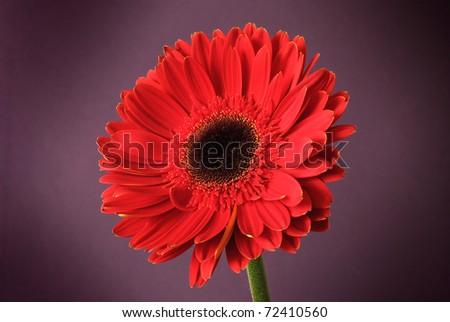 developed red gerbera on the heather background - stock photo