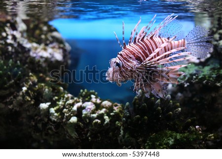 Devil firefish also known as a Devil lionfish (Pterios miles) - stock photo
