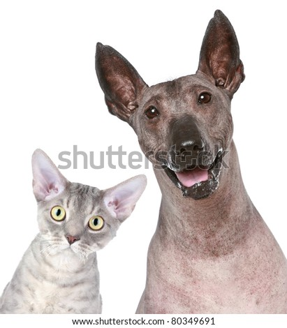 Devon-rex and Peruvian hairless dog. Funny portrait on a white background - stock photo