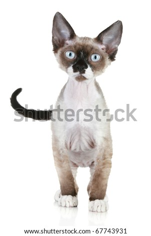 Devon Rex breed cat standing on a white background - stock photo