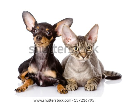 devon rex cat and toy-terrier puppy together. looking at camera. isolated on white background - stock photo