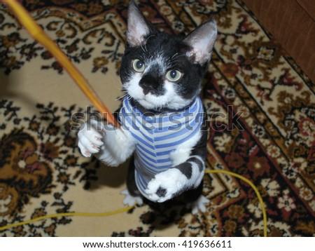 Devon Rex, cat in a stripped vest, black & white, playing with a leaf - stock photo