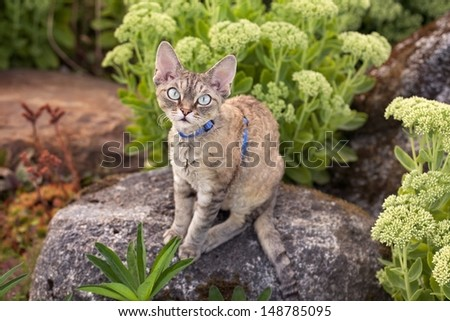 Devon rex cat is walking in the garden. Cat is enjoying being outside. Cat feeling the pleasure of fresh air and sun.