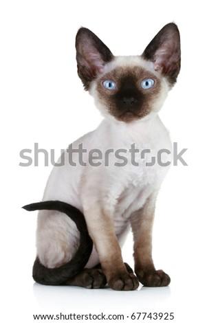 Devon-Rex cat sitting on a white background - stock photo