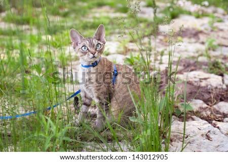 Devon rex cat walking in the garden - stock photo