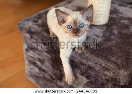 devon rex kitten on scratching post - stock photo