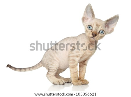 Devon Rex kitten (one month) posing on white background