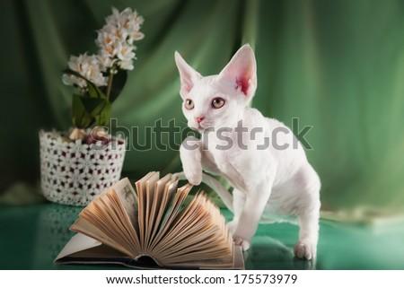 Devon Rex kittens, cute, small, bare - stock photo