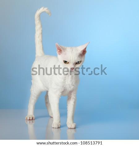 Devon Rex on blue background - stock photo