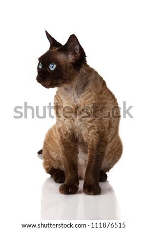 Devon Rex. Portrait on a white background - stock photo