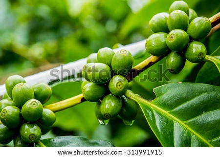 dew and green coffee beans on the tree - stock photo