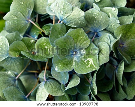 Dew covered hydrangea plant of green with blue centers and veins - stock photo