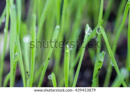 Dew drop on fresh green grass after the rain fall. - stock photo