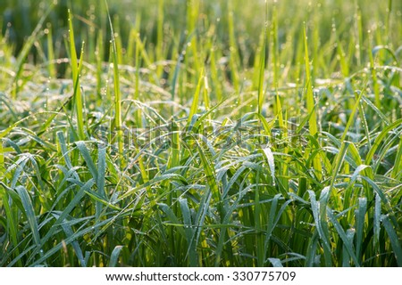 dew drop on grass shallow DOF - stock photo