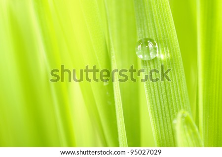 Dew Drop on Green Grass Close-Up - stock photo