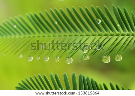 dew droplets at the tip of mimosa leafs