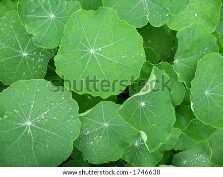 Dew droplets collected on Nasturtium leaves. - stock photo