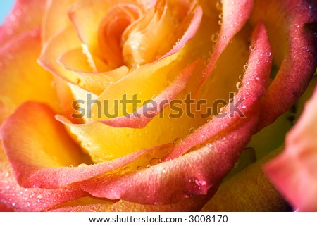 Dew drops by yellow-red rose. Macro. DOF. - stock photo