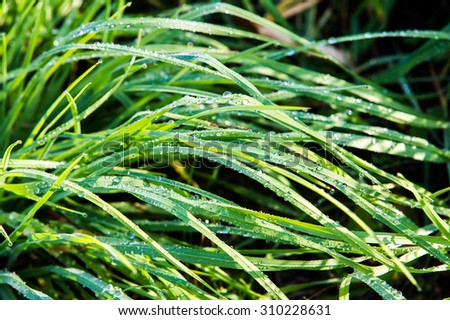 dew drops. Fresh grass with dew drops. dew on the grass in nature. Dew drops on leaves. drops of dew on a green grass - stock photo