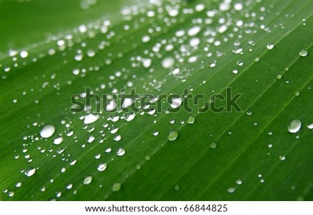 dew drops on banana leaf