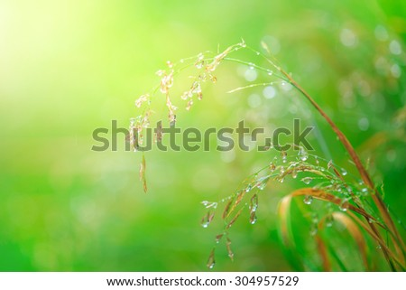dew drops on grass flower, concept for fresh air in the morning, Chiangmai Thailand - stock photo