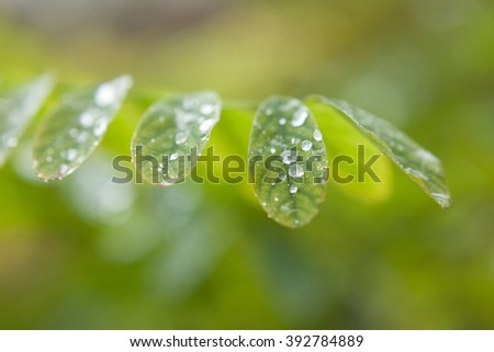 Dew drops on leaves. Leaves of plants after a rain close up. Dew drops close up. Water drops close up. - stock photo