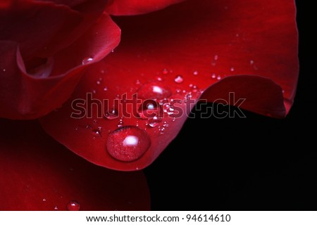 dew drops on rose petal - stock photo