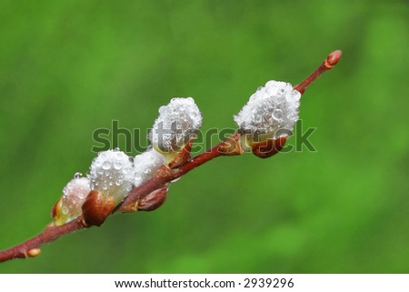 dew drops on spring willow catkins