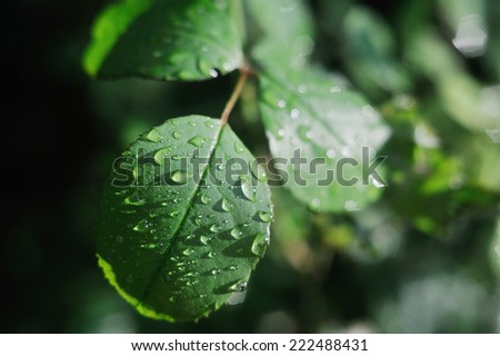 dew drops on the leaves of wild rose - stock photo