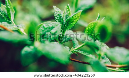 Dew on a leaf in spring after rain. Drops of dew on a fresh green leaves. Fresh green leaf branch with water drops closeup. Nature Background. - stock photo