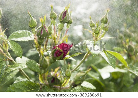 Dew on a rose - stock photo