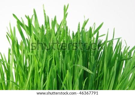 dew on grass on white background - stock photo