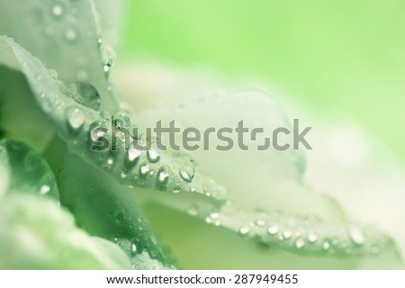 dew on petals green background
