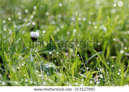 dew on the grass texture flower background - stock photo