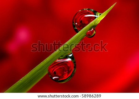 Dew refraction of a red rose.