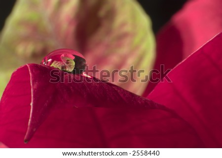 dewdrop on a poinsettia leaf - stock photo