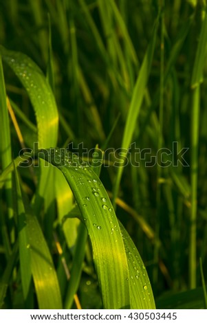 dewdrops on grass leaves