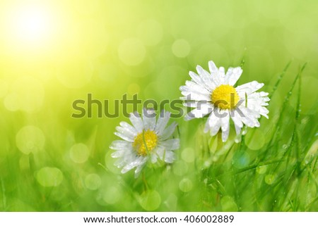 Dewy daisy flowers in grass. Soft focus. Spring background.
