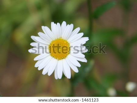 dewy daisy, shallow DOF - stock photo