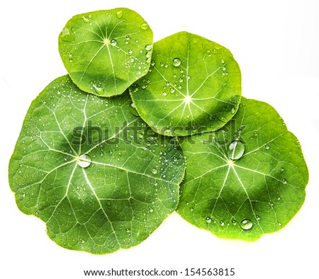 dewy leaves - stock photo