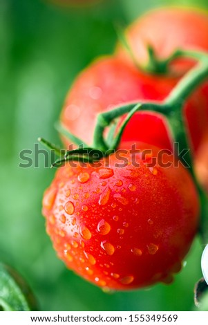 dewy red tomatoes on twig - stock photo