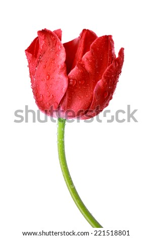 Dewy red tulip isolated on white background - stock photo