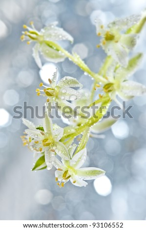 dewy spring flower ornithogalum and bokeh - stock photo