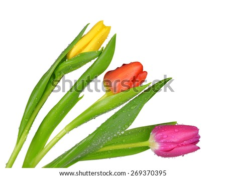 Dewy tulips with green leaf isolated on white background - stock photo