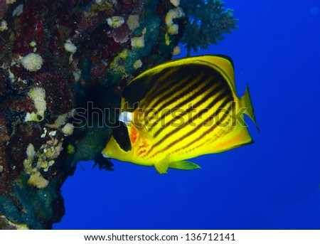 Diagonal-lined butterflyfish (Chaetodon fasciatus), in the Red Sea, Egypt.