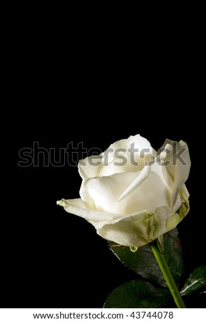 Diagonal photo of a perfect white rose