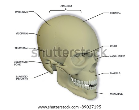diagram of the human skull
