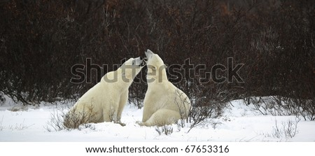 Dialogue of polar bears. Two polar bears have met against a dark bush and are measured by mouths. - stock photo