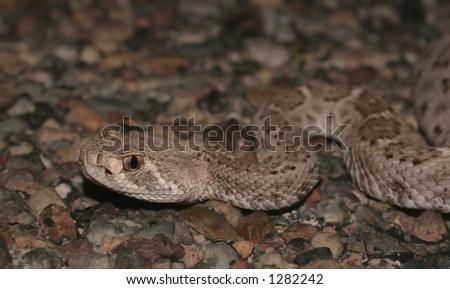 Diamodback rattlesnake headshot and upper body - stock photo