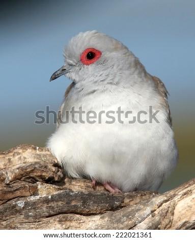 Diamond dove with orange eye ring and soft white feathers - stock photo